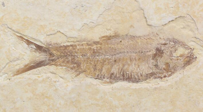 "Bargain 3.5"" Knightia Fossil Fish - Wyoming"