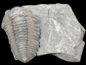 Flexicalymene retorsa - Fossils For Sale - #40749