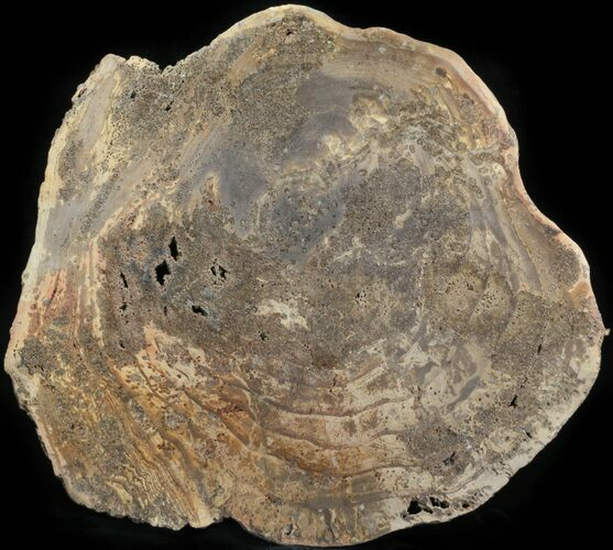 "8.7"" Petrified Wood Round -  Sweethome, Oregon"