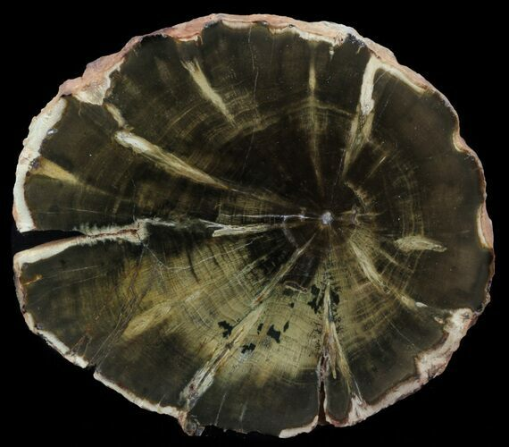 "5.2"" Woodworthia Petrified Wood Slab - Zimbabwe"