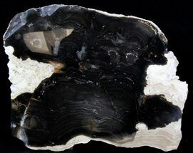 "Buy 7.7"" Polished Stromatolite (Collumnacollenia) - Russia - #41854"