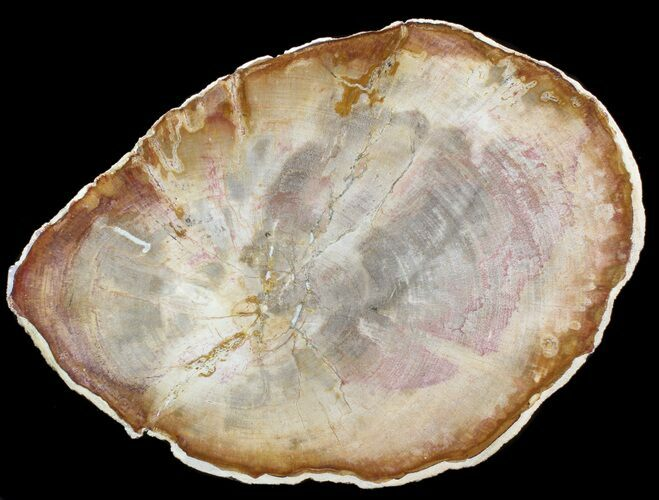 "10.6"" Petrified Wood (Tropical Hardwood) Slab - Indonesia"