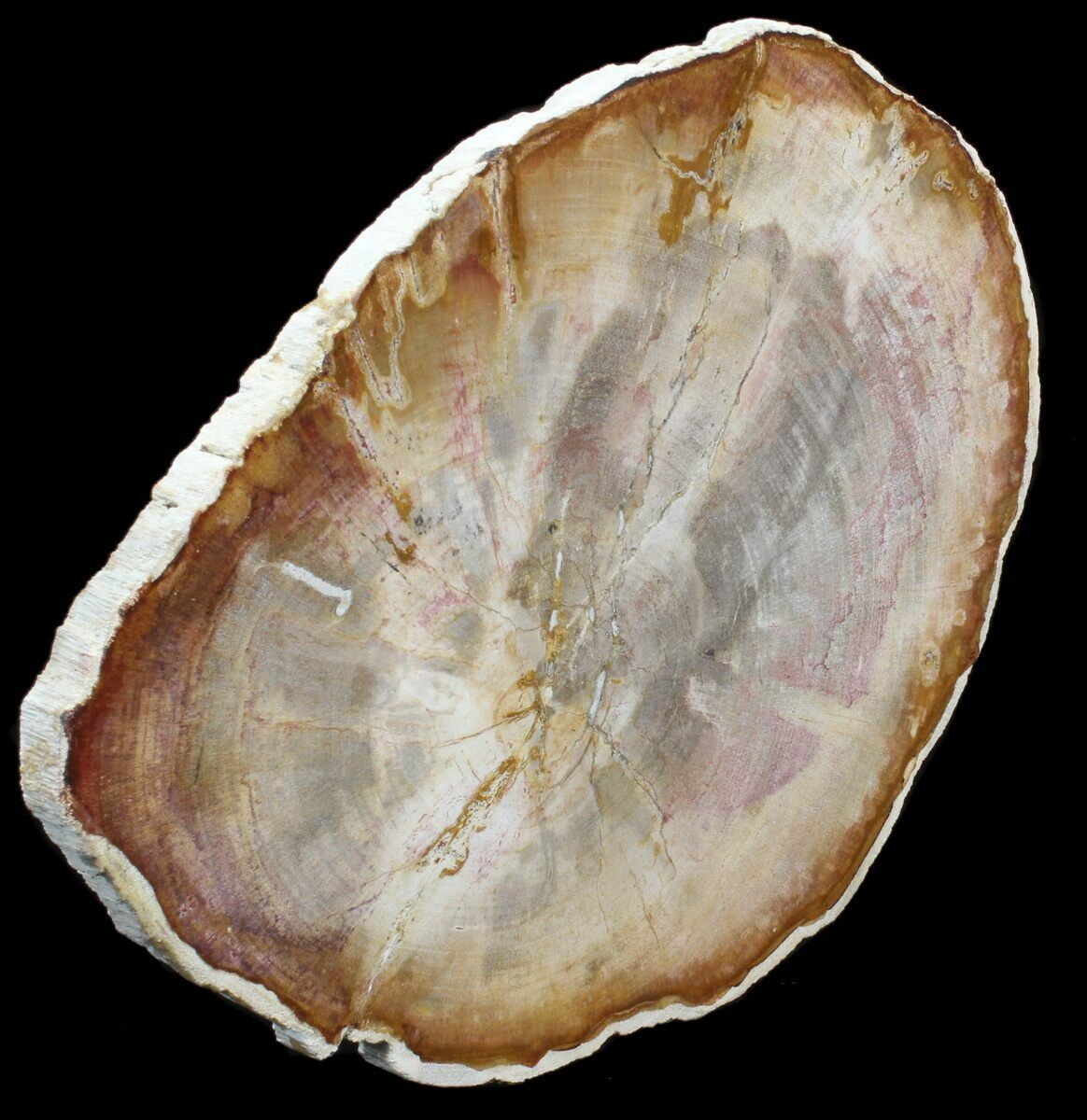 10.6 Petrified Wood (Tropical Hardwood) Slab - Indonesia