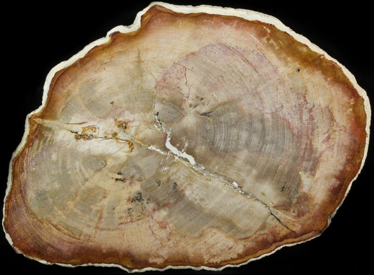 10.5 Petrified Wood (Tropical Hardwood) Slab - Indonesia