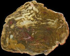 "7.5"" Polished, Jurassic Petrified Wood (Conifer) - Australia For Sale, #41918"