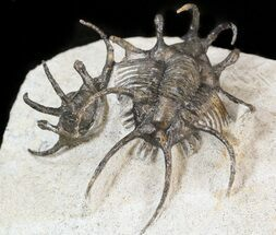 "1.85"" Alien Looking Ceratarges Trilobite For Sale, #42254"