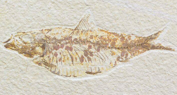 "Bargain, 4.6"" Knightia Fossil Fish - Wyoming"