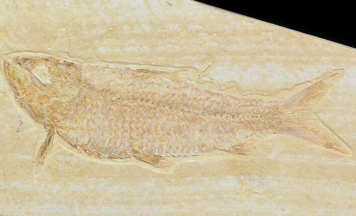 "Detailed, 4.3"" Knightia Fossil Fish - Wyoming"