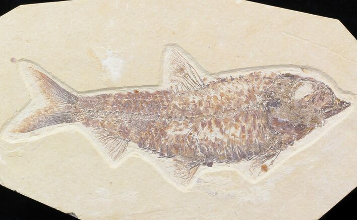 "Large, 6.2"" Knightia Fossil Fish - Wyoming"
