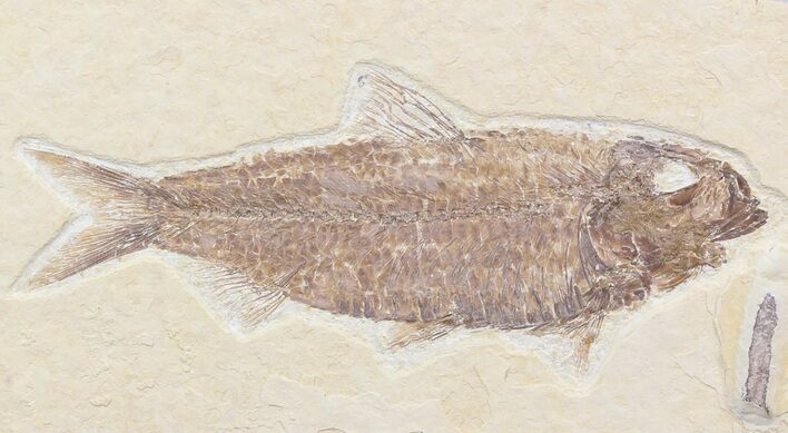 "Detailed, 4.8"" Knightia Fossil Fish - Wyoming"