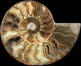 Cleoniceras cleon - Fossils For Sale - #42516