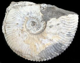 "1.5"" Wide Kosmoceras Ammonite - England For Sale, #42647"