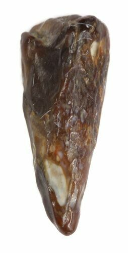 ".4"" Plesiosaur Tooth - North Sulfur River, Texas"