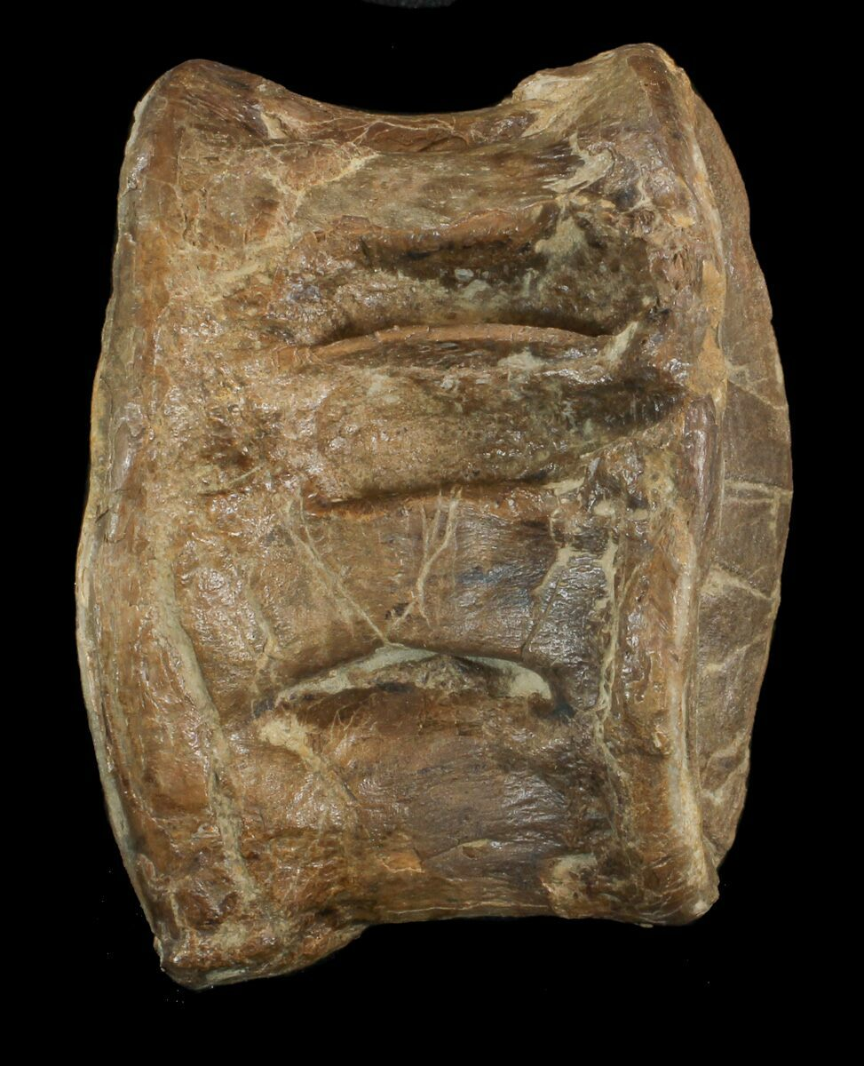 "2.3"" Xiphactinus Vertebrae With Shark Predation - Kansas ..."