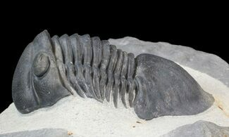 Paralejurus rehamnanus - Fossils For Sale - #43125