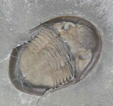 "1.4"" Prone Isotelus Maximus Trilobite - Ohio  For Sale, #43127"