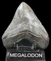 "Large, 5.45"" Megalodon Tooth - South Carolina For Sale, #43031"