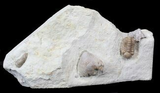 Kainops raymondi - Fossils For Sale - #42852