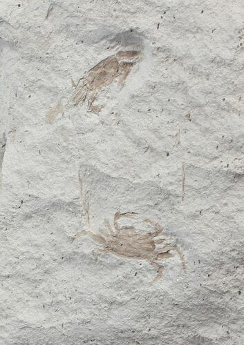 Two Fossil Pea Crabs (Pinnixa) From California - Miocene