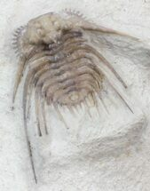 "1.05"" Spiny Kettneraspis Trilobite - Oklahoma For Sale, #42857"