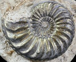 "Buy 1.44"" Pyritized Pleuroceras Ammonite - Germany - #42751"