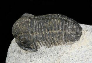 "Bargain .9"" Gerastos Trilobite Fossil  For Sale, #43475"