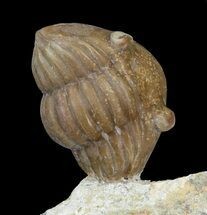 Buy Cute Enrolled Asaphus Lepidurus Trilobite - Russia - #43678