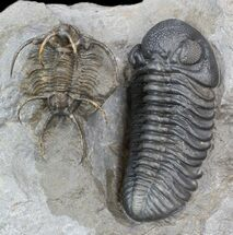 Spine-On-Spine Ceratarges & Austerops Trilobite Association For Sale, #43685