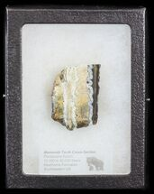 Mammuthus columbi - Fossils For Sale - #44073