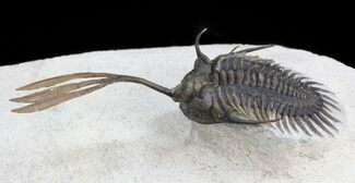 "Buy 2.5"" Trident"" Walliserops Trilobite - Excellent Preparation - #44500"