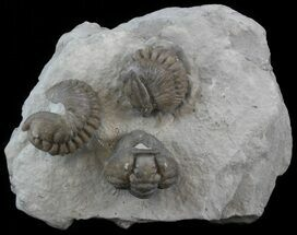 Buy Three Enrolled Flexicalymene Trilobite - Ohio - #45058