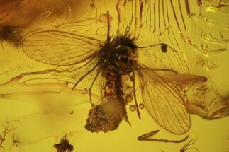 Fossil Fly, Mothfly & Plant In Baltic Amber For Sale, #45143