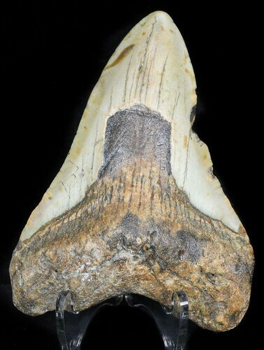 "Bargain 4.19"" Megalodon Tooth - North Carolina"