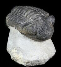 "Bargain, 4.5"" Drotops Trilobite On Pedestal of Limestone For Sale, #45611"
