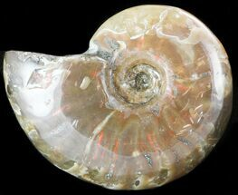 "Flashy Red Iridescent Ammonite - 1.3"" Wide For Sale, #45794"
