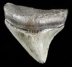 "Buy Serrated 1.99"" Posterior Juvenile Megalodon Tooth - #45838"