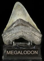 Carcharocles megalodon - Fossils For Sale - #45945