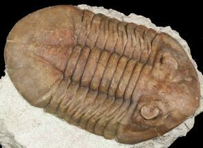 "Buy 3.5"" Asaphus Plautini Trilobite - Large For Species - #46009"