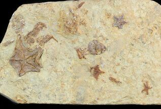 Plate Of Rare Cretaceous Starfish (3 Types) - Morocco For Sale, #46481