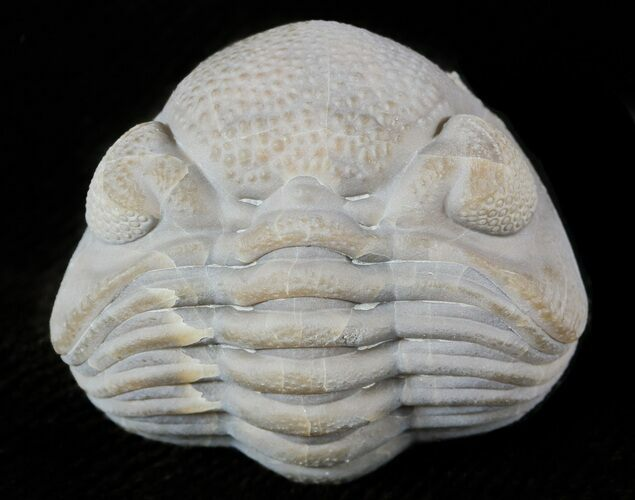 "1.19"" Wide Enrolled Eldredgeops Trilobite - Silica Shale"