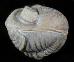 Eldredgeops milleri - Fossils For Sale - #46587