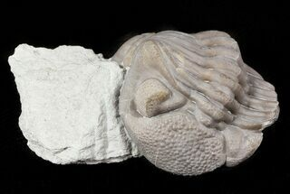 "Buy 1.28"" Wide Enrolled Eldredgeops Trilobite - Silica Shale - #46594"