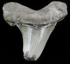 Carcharocles angustidens - Fossils For Sale - #46860