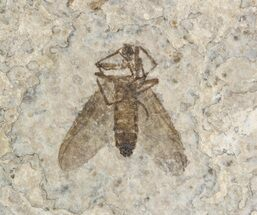 Double Fossil March Fly (Plecia) - Green River Formation For Sale, #47159