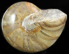 "Buy 4"" Polished Nautilus Fossil - Madagascar - #47395"