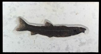 "Rare, 18"" Long Notogoneus Fish Fossil - Wyoming For Sale, #47549"