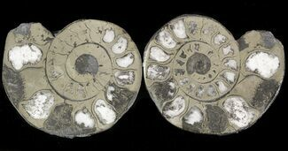 "1.5"" Pyritized Ammonite Fossil Pair For Sale, #48053"