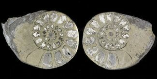 "1.2"" Pyritized Ammonite Fossil Pair For Sale, #48059"