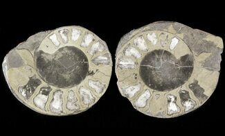 "Buy 1.3"" Pyritized Ammonite Fossil Pair - #48097"