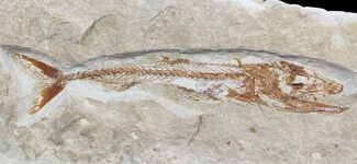 Eurypholis boissieri - Fossils For Sale - #48495